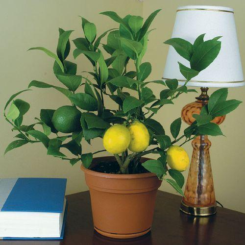 Цитрусовое дерево из обычной косточки