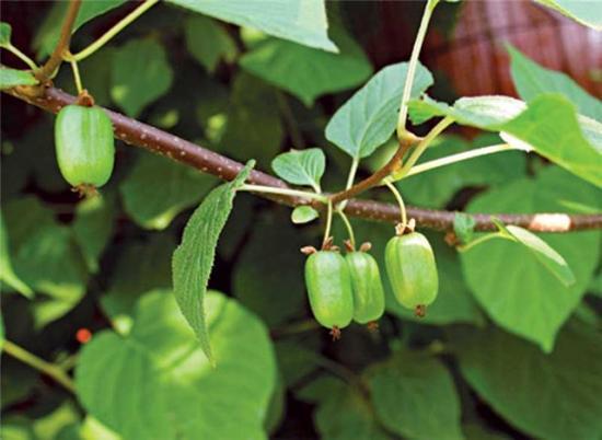 Саженцы актинидии или холодостойкий киви на приусадебном участке
