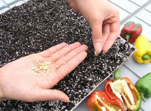 Перец семена своими руками