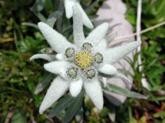 Получится ли вырастить эдельвейс в садовых условиях