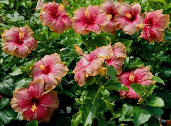 Гибискус садовый древовидный – уход и выращивание