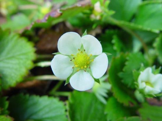 цветы клубники