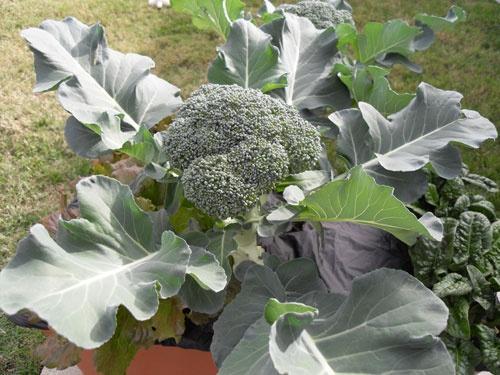 брокколи в саду