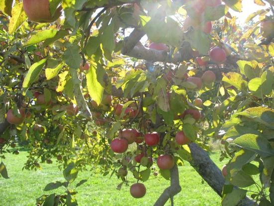 Яблоня орлик