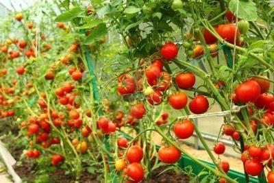 помидоры