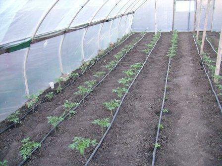 Высадка томатов в теплицу