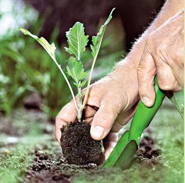 агротехника цветной капусты