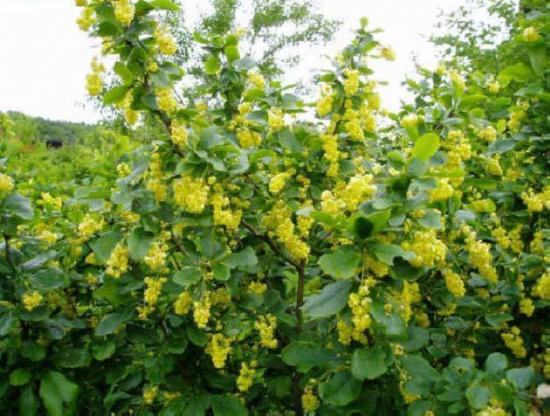 цветущий барбарис