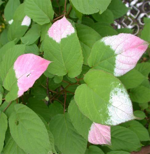 листья актинидии коламикта