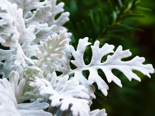 выращивание цинерарии из семян