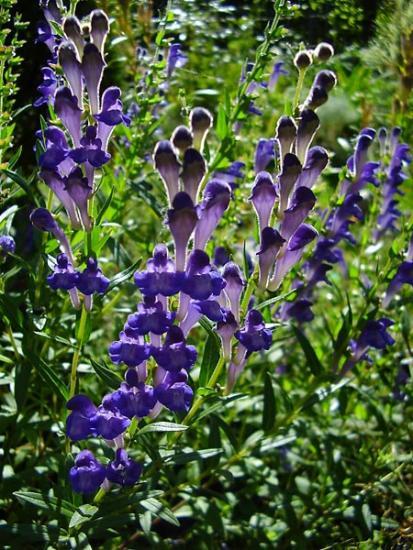 орхидеи, ятрышник