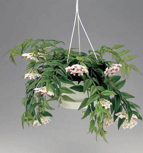 ампельное растение плющ