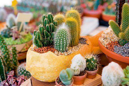 как удобрять кактусы