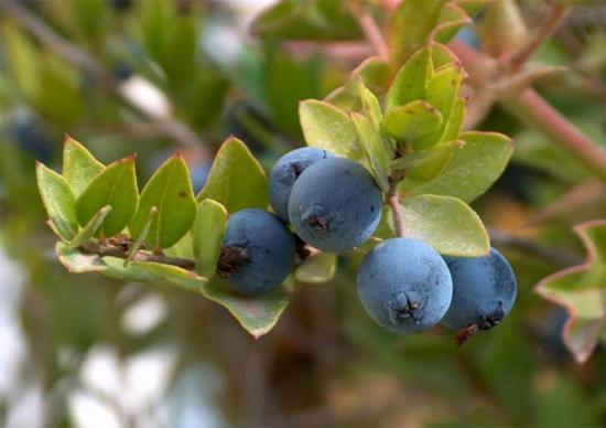 плоды миртового дерева