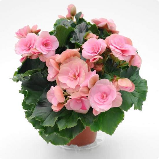 Бегония  Все о комнатных растениях на flowerswebinfo