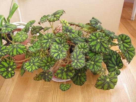 декоративные листья бегонии