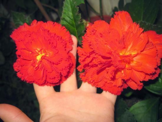 цветы бегии похожи на гвоздики
