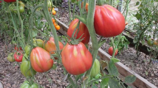 томат инжир розовый отзывы