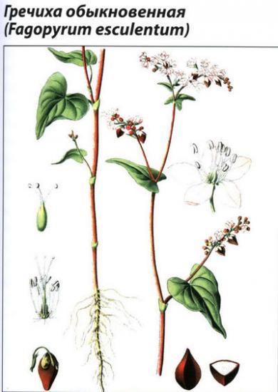 растение гречиха