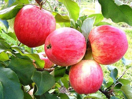 яблоня конфетное описание
