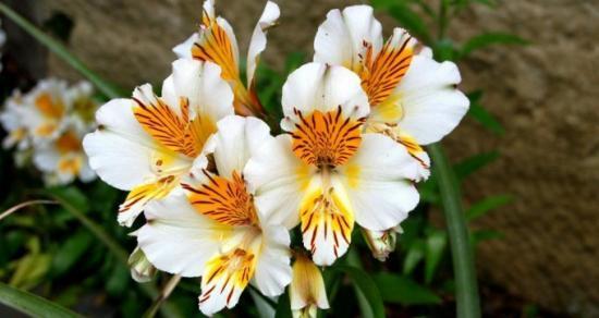 Альстромерия значение цветка