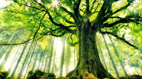 Деревья долгожители - названия и возраст, описание, фото и видео