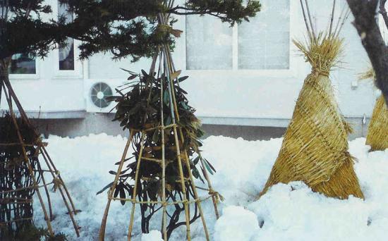 укрывать гортензии на зиму