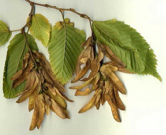 орешки раба