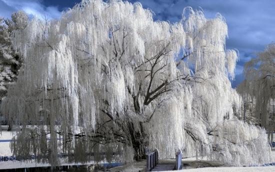 верба зимой