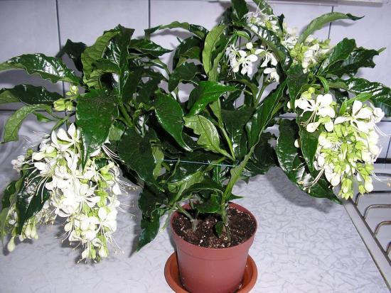 клеродендрум Шмидта