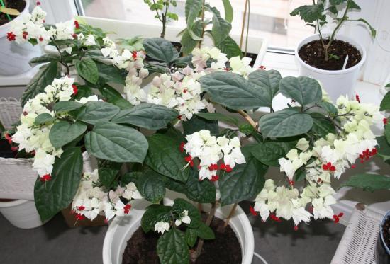 клеродендрум цветение