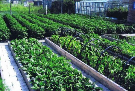 соседство овощных культур на участке