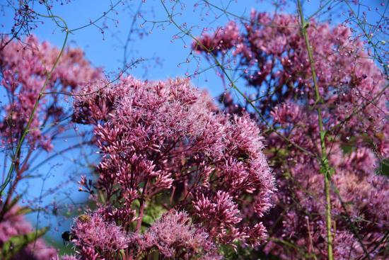 посконник пурпурный