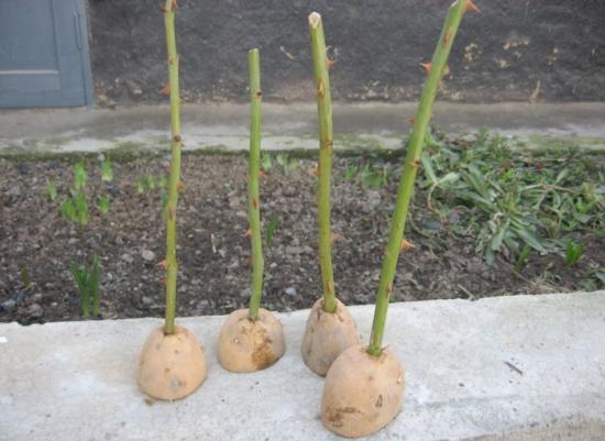 черенки розы в картофелинах