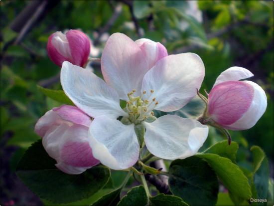 Авенариус - яблоня летнего срока созревания, особенности посадки и ухода
