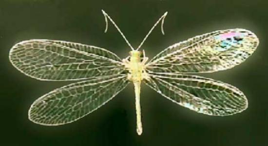Златоглазка вредитель или защитник, какую пользу приносит насекомое