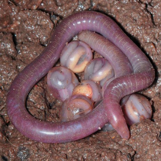 Образ жизни дождевого червя