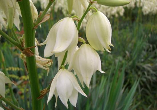 цветки юкки