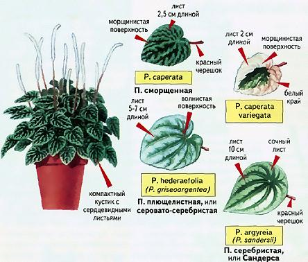 Пеперомия лилиан, уход в домашних условиях, особенности размножения