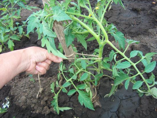 томаты  подвязкак кустов