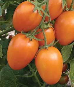 томаты Стеша отзывы