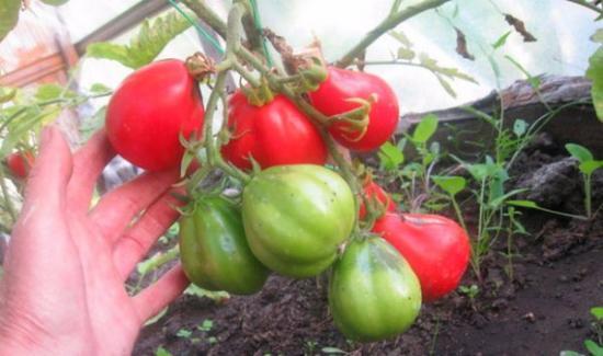 томат японский трюфель красный или томат лампочка