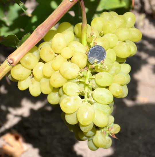 виноград валек преимущества сорта