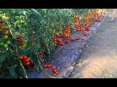 томаты на мульчирующей пленке