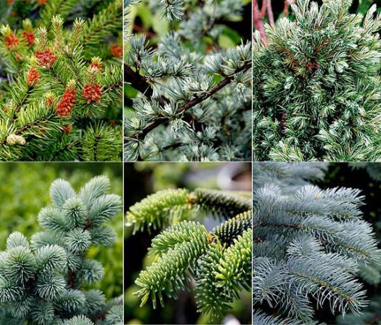 все хвойные растения