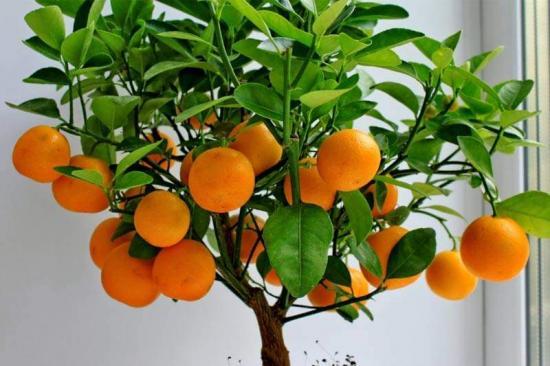 мандарин в комнатных условиях