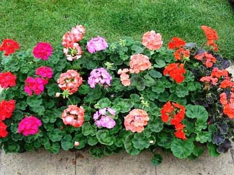 Почему не цветет пеларгония в домашних условиях, секреты пышного цветения