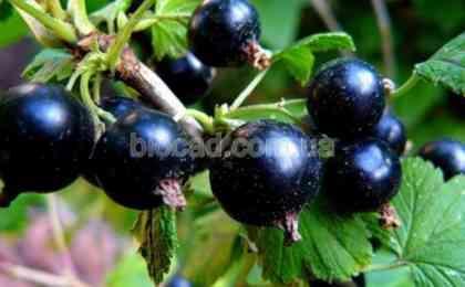 смородина ягоды