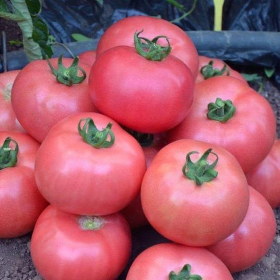 томат розмарин