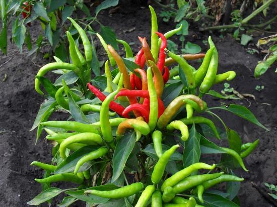 Как вырастить перец огонек из семян